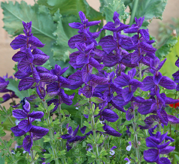 Salvia horminum 'Blue' - Buy Online at Annie's Annuals