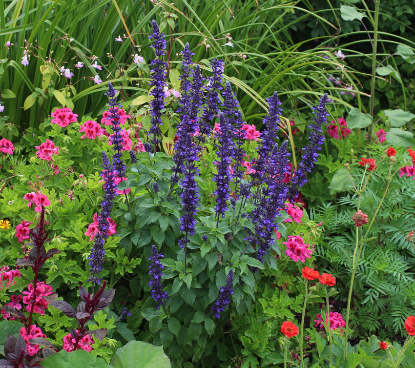 Salvia Mystic Spires Buy Online At Annie S Annuals
