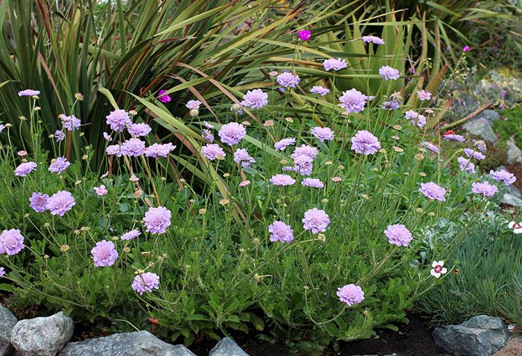 Scabiosa Anthemifolia Buy Annie Annuals