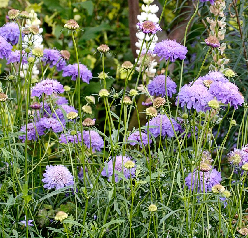 Scabiosa Atropurpurea Florist S Blue Buy Online At