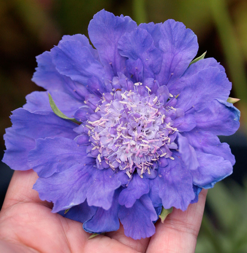 Scabiosa Caucasica Fama Blue Pincushion Flower Buy Online At
