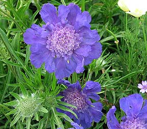 "Scabiosa caucasica 'Fama Blue' ""Pincushion Flower"""