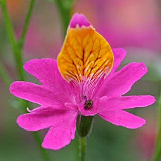 "Schizanthus grahamii ""Butterfly Flower"""
