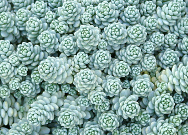 Sedum Dasyphyllum Major Buy Online At Annie S Annuals