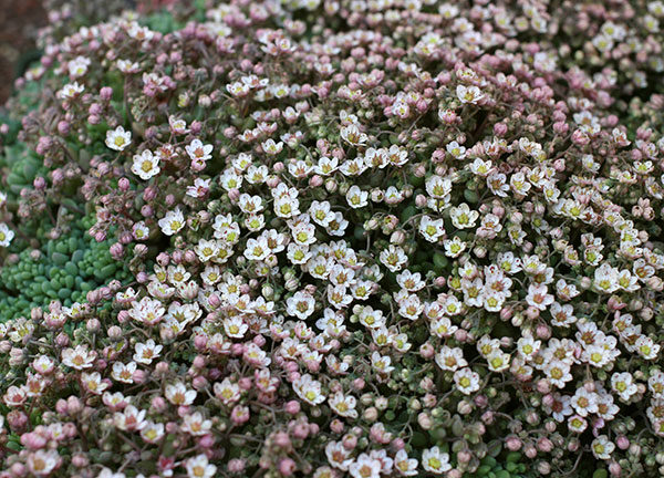 Sedum Dasyphyllum Major Buy Online At Annie S Annuals