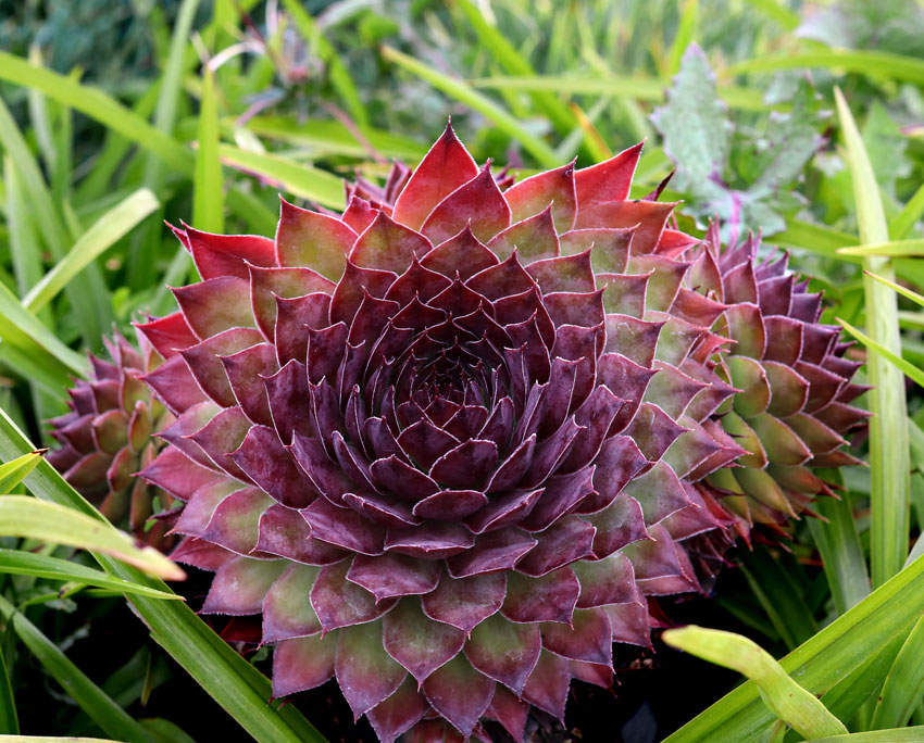 Sempervivum Black Rose Buy Online At Annie S Annuals