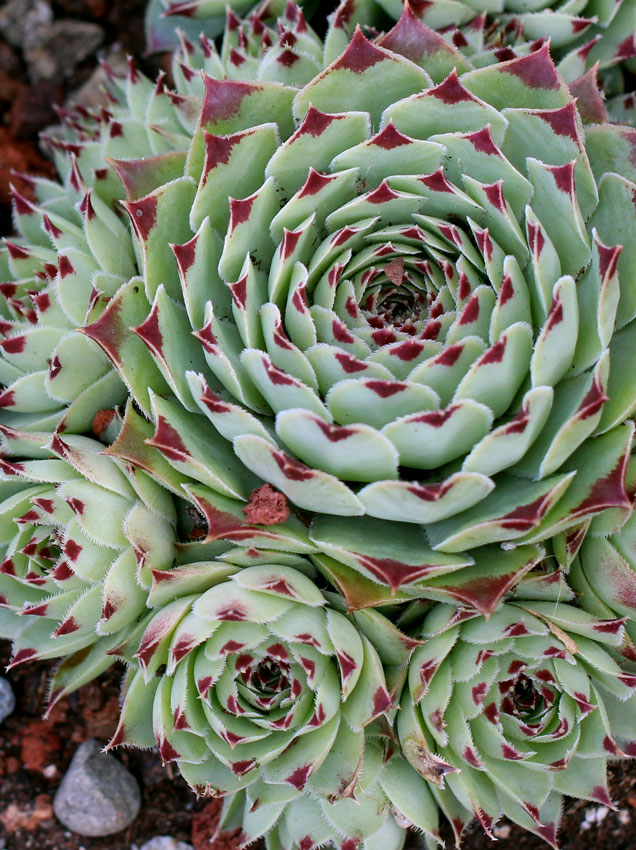 sempervivum tectorum 39 greenii 39 hens chicks buy