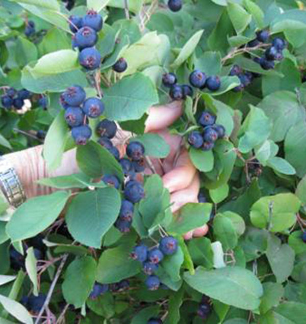 Serviceberry timm success buy online at annies annuals serviceberries altavistaventures Image collections