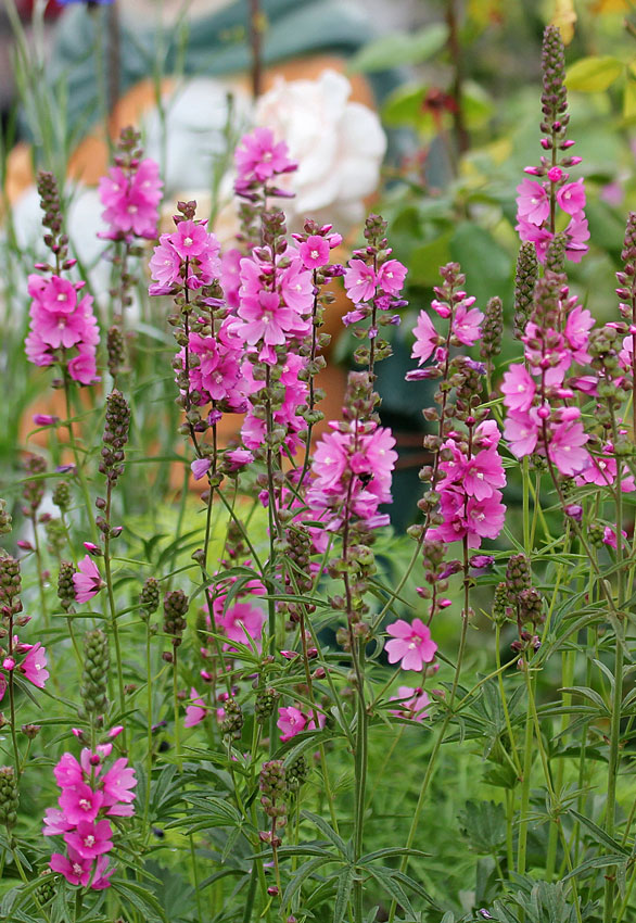 Sidalcea Hendersonii Quot Henderson S Checkermallow Quot Buy Online At Annie S Annuals