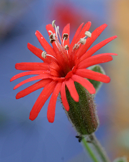 Silene laciniata major