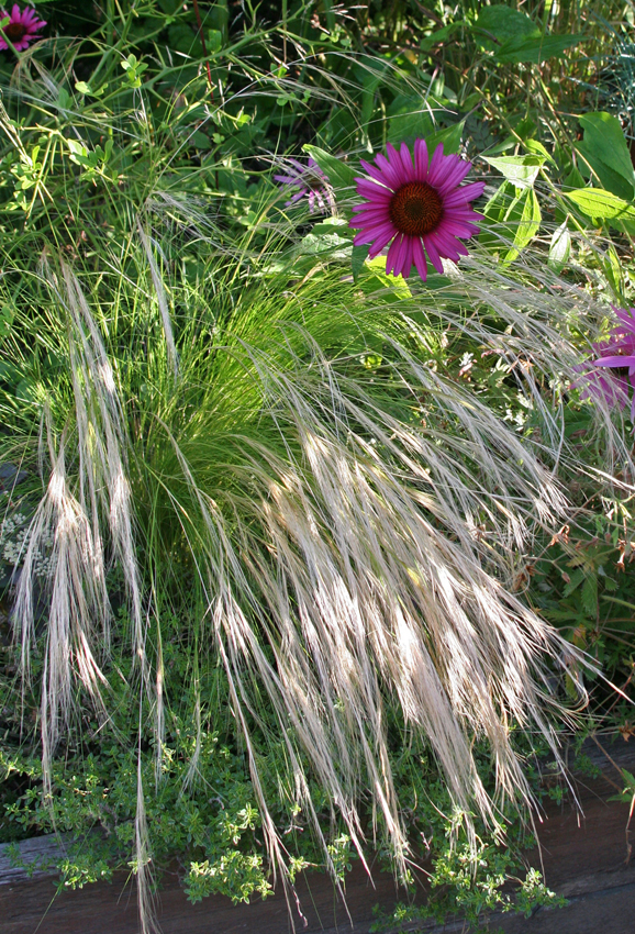 Stipa Barbata Silver Feather Grass Buy Online At Annie S Annuals