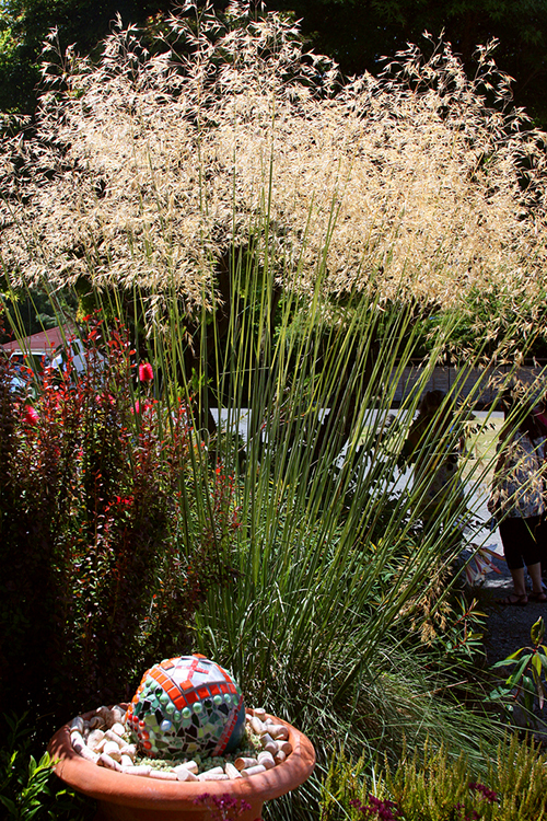 Stipa gigantea