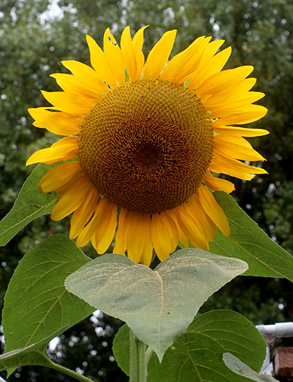 Sunflower 'Arikara'