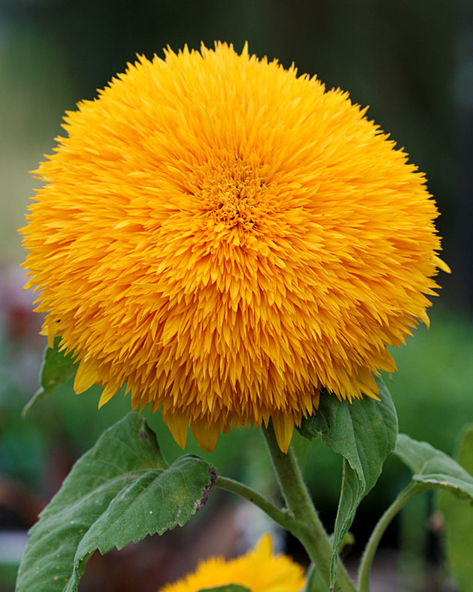 Sunflower big bear buy online at annies annuals sunflower big bear mightylinksfo Choice Image