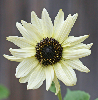 Sunflower 'Italian White' (H. debilis)