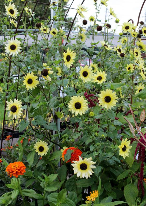 Sunflower Italian White Buy Online At Annie S Annuals