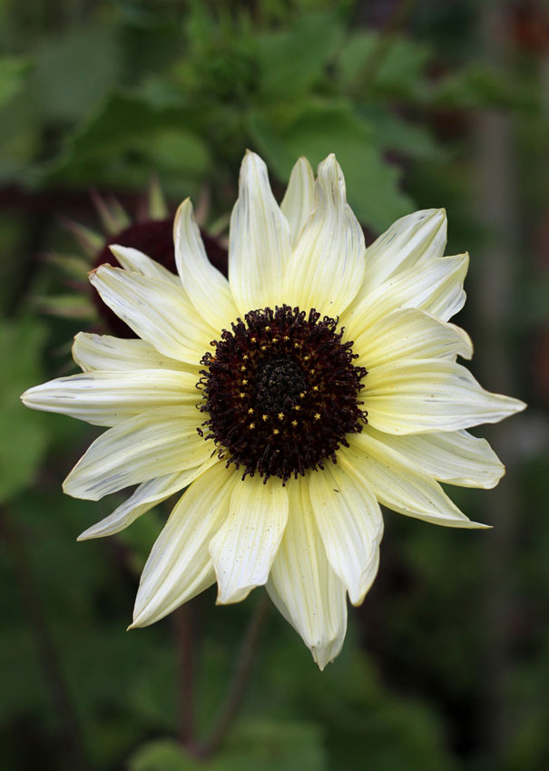 Sunflower italian white buy online at annies annuals sunflower italian white helianthus mightylinksfo