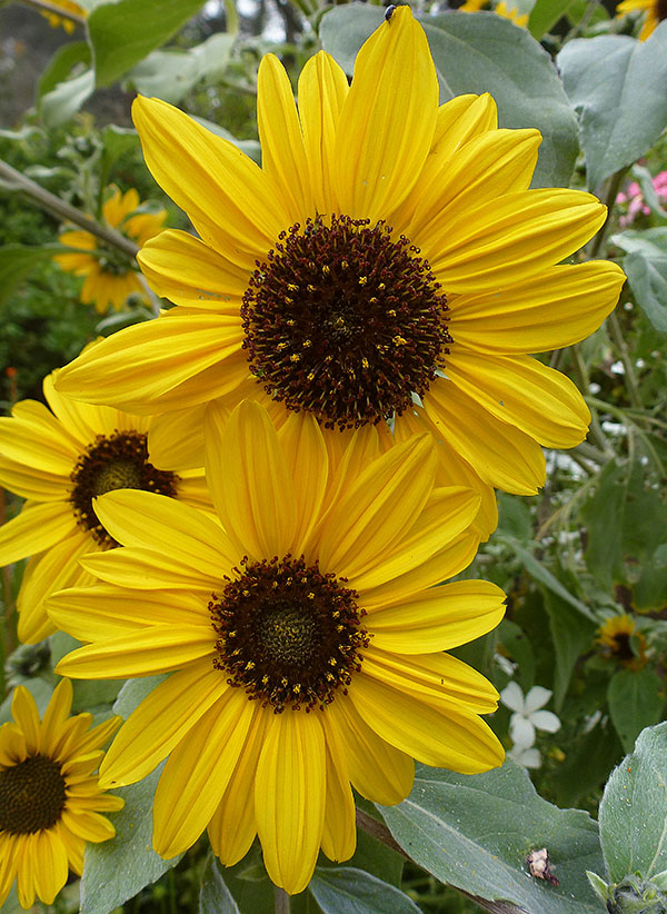 Sunflower 'Japanese Silverleaf'