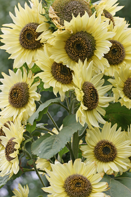 Sunflower 'Lemon Queen'