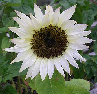 http://www.anniesannuals.com/signs/s/images/sunflower_moonshadow_new.jpg