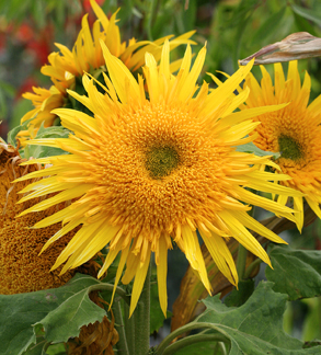 Sunflower 'Shine'