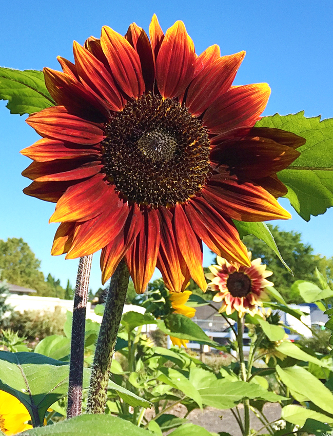 Sunflower 'Shock-o-Lat' - Buy Online at Annie's Annuals