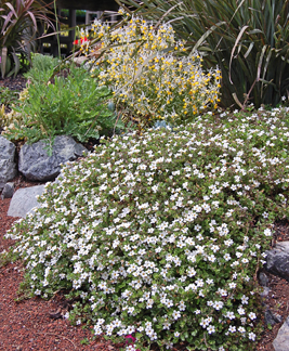 Bacopa Seeds - Bacopa flowers - Annual Flower Seeds