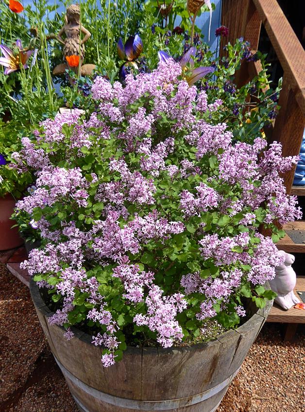 "Syringa meyeri 'Palibin' ""Dwarf Korean Lilac"" - Buy Online ..."