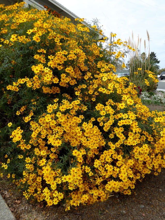 Tagetes lemmonii Mexican Marigold Ship in 1 gal Pot - 1 Feet