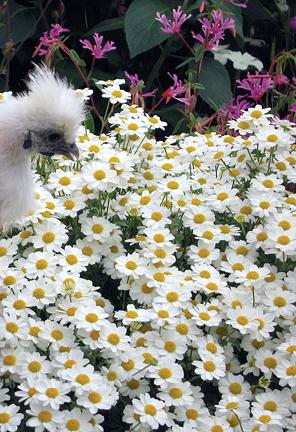 Tanacetum Niveum Quot White Bouquet Tansy Quot Buy Online At