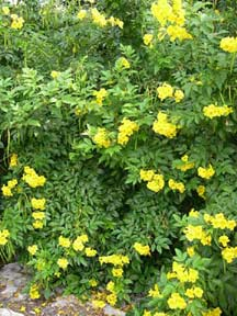 Tecoma stans yellow bells buy online at annies annuals tecoma stans yellow bells mightylinksfo