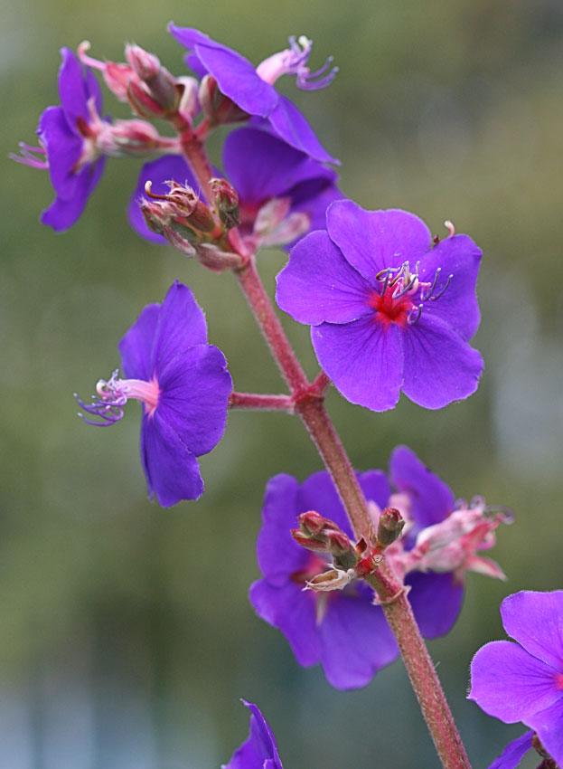 Tibouchina Heteromalla Quot Purple Glory Bush Quot Buy Online At