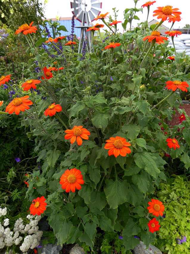 Tithonia rotundifolia 'The Torch' - Buy Online at Annie's ...
