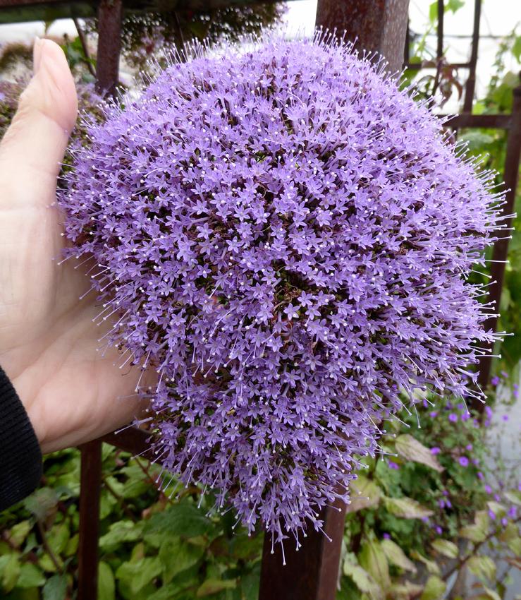 trachelium caeruleum perennial blue lace flower buy online at