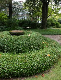 Asian Jasmine Ground Cover