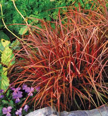 Uncinia uncinata 39 red 39 39 rubra 39 buy online at annie 39 s for Perennial grasses red