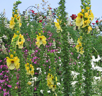 Verbascum sp. 'Cotswold King'