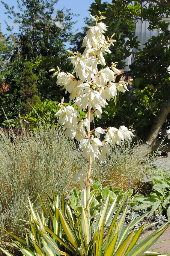 yucca filamentosa 39 color guard 39 buy online at annie 39 s annuals. Black Bedroom Furniture Sets. Home Design Ideas
