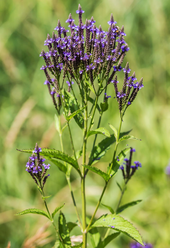"""Black Bumble Bee >> Verbena hastata """"Swamp Vervain"""" - Buy Online at Annie's Annuals"""