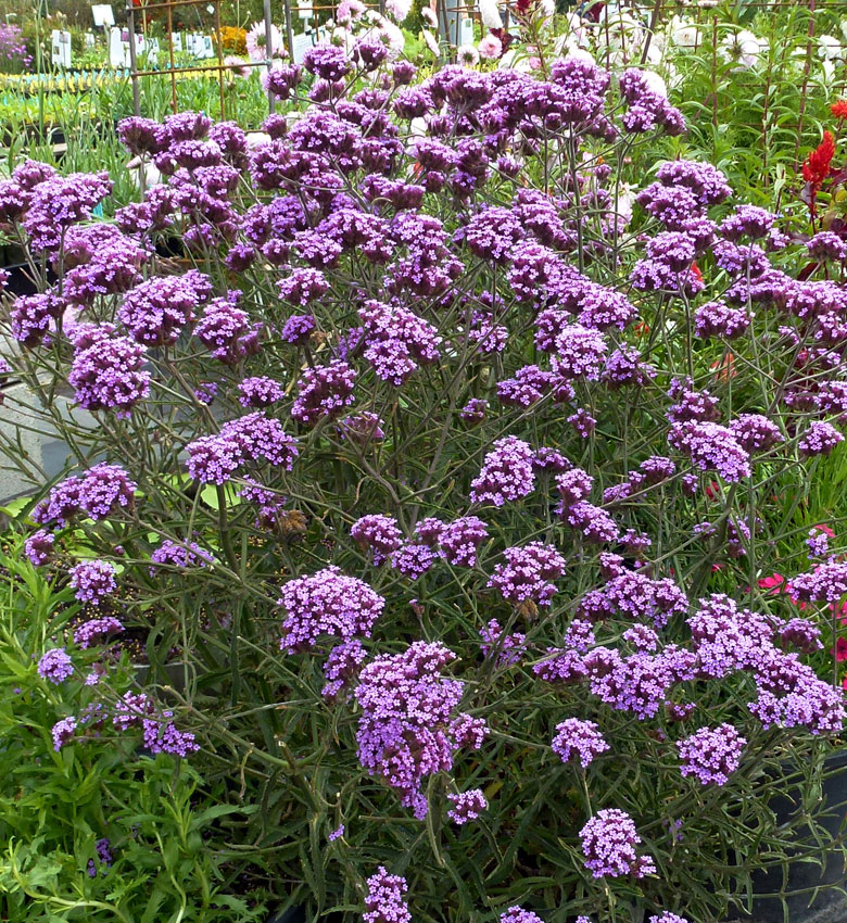 Verbena Bonariensis Lollipop Buy Online At Annie S Annuals
