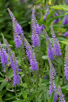 "Veronica longifolia ""Long leaf Speedwell"""