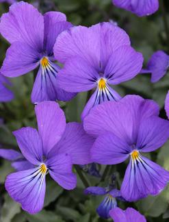 Viola Corsica Buy Online At Annie S Annuals