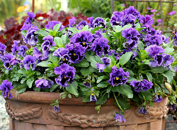 Viola Frizzle Sizzle Blue Buy Online At Annie S Annuals