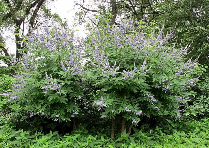 Vitex Agnus castus Latifolia Chaste Tree Plant in 9 cm Pot