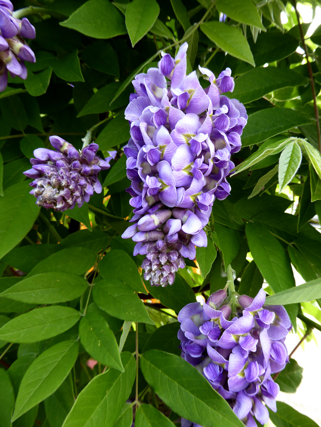 Wisteria Amethyst Falls Buy Online At Annie S Annuals