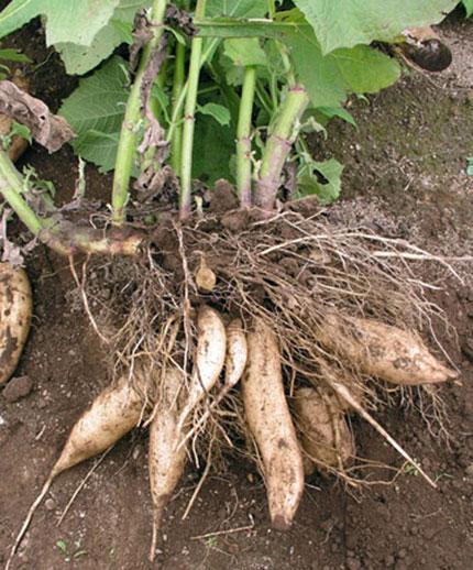 How to Grow Jicama foto