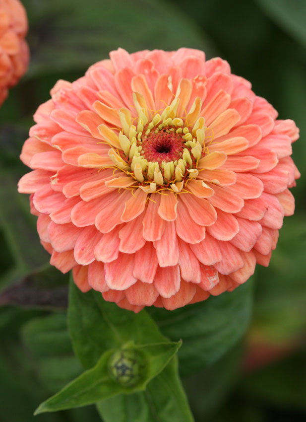 Zinnia Elegans Benarys Giant Salmon Rose Buy Online At