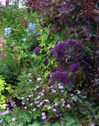 Trachelium caeruleum 'hamer pandora' (dk. purple)