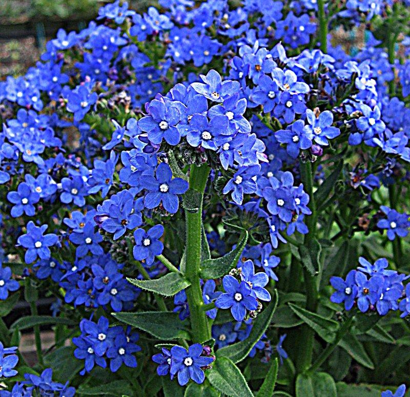 Многолетние цветы с синими цветами