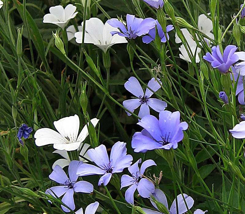 Viscaria Oculata Viscaria Oculata 'blue Pearl'